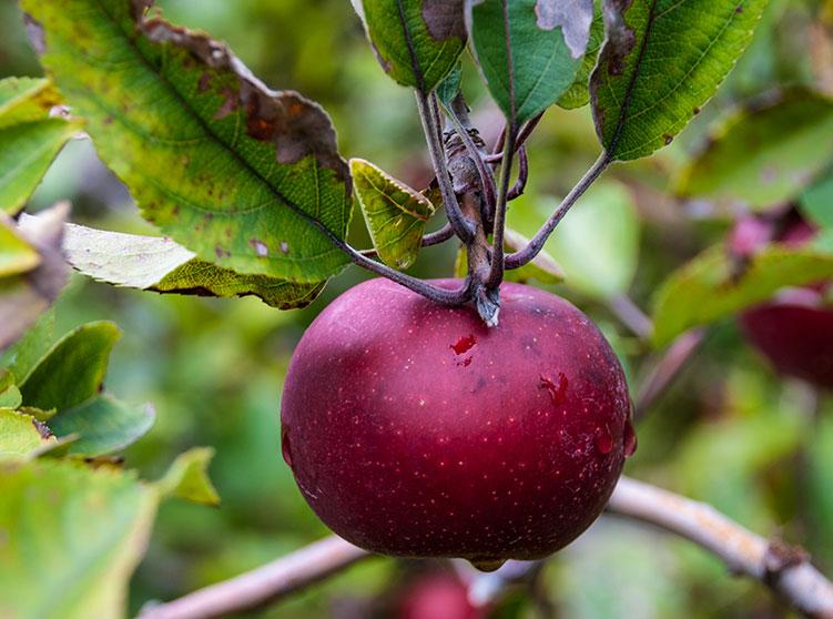 North Carolina Apple Growers